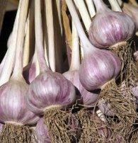 German red garlic